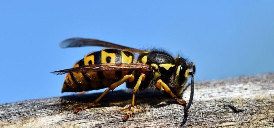 Angst Vor Wespen